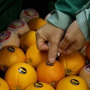 Naranjas-Torres-variedades-