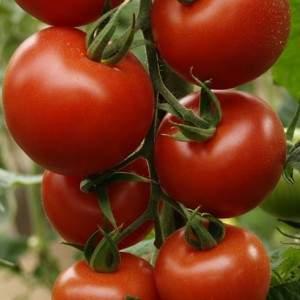 tomate-syngenta-ok