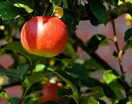 manzana catalana