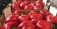 pimientos Marruecos pesticidas