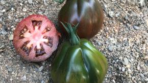 Unigen Seeds