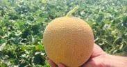 melones
