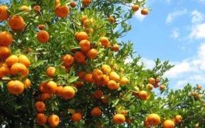mandarinas Sudáfrica