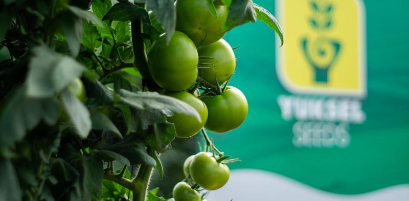 tomate azarbe Yuksel