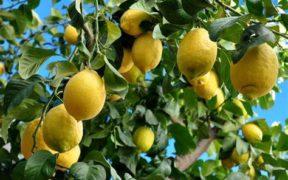 precio limón coliflor brócoli
