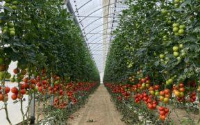 tomate balance