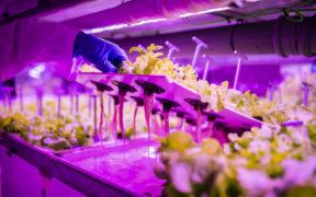 Agromediterránea lechugas vivas