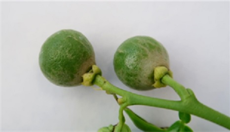 plaga Huelva naranjos frutos rojos
