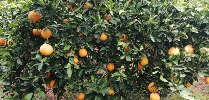 UE importación naranjas