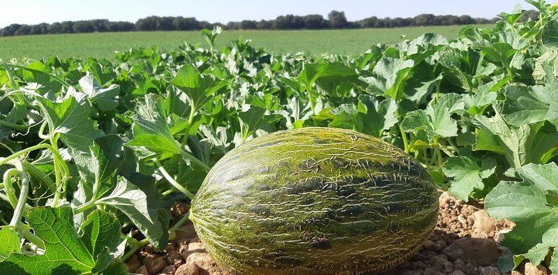 Sakata melón