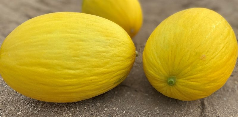 Seminis melón