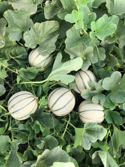 Enza Zaden melón