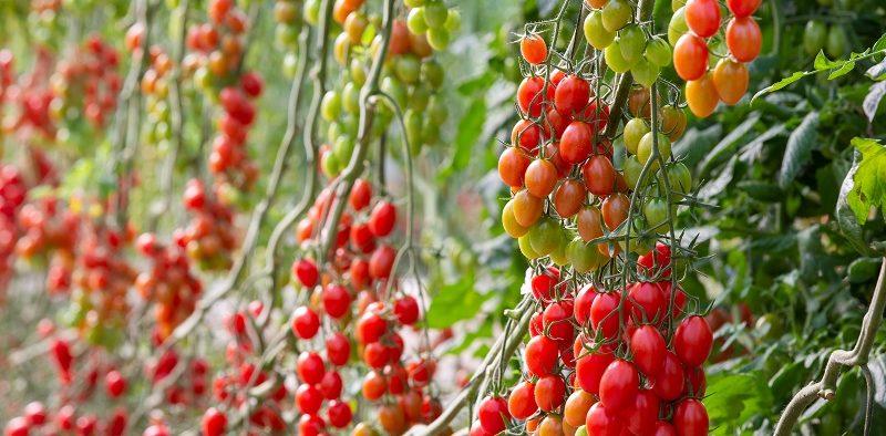 Hazera tomate