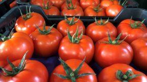 Rijk Zwaan tomate