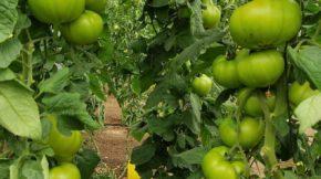 Gautier tomate
