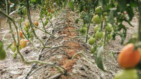 projar tomate sustratos