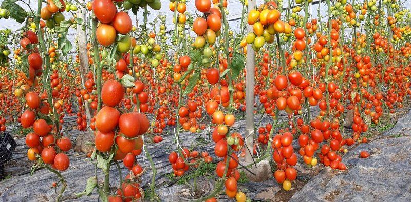 Ramiro Arnedo tomate