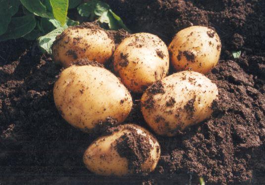 patata consumo