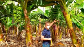 control biológico Koppert plátano