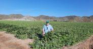 control biológico melón sandía