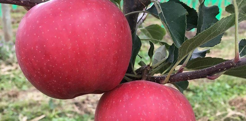 Viveros Escande manzana