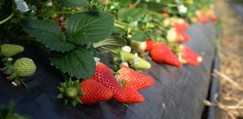 Nova Siri variedades fresa