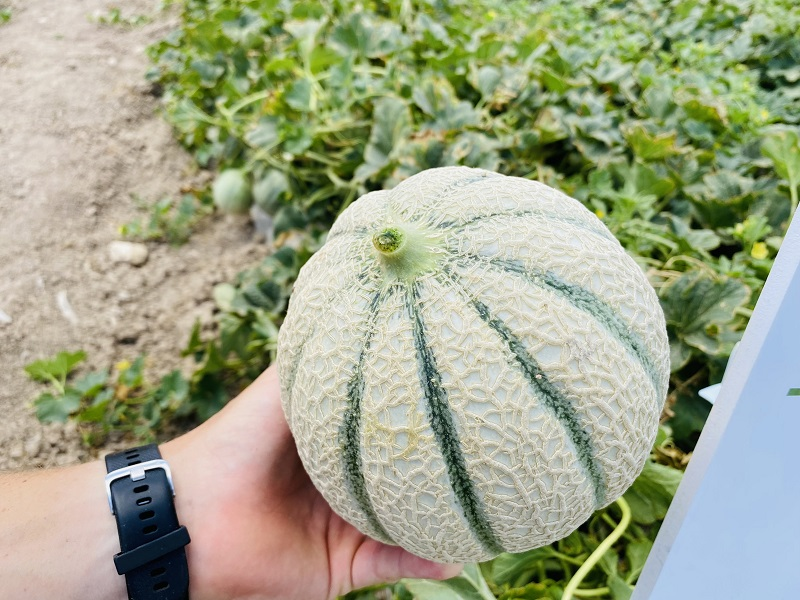 Melon Week Seminis