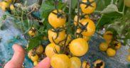 Tokita tomate cherry